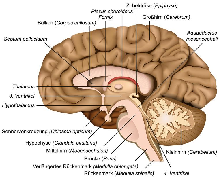 Querschnitt durch das menschliche Gehirn – im Zentrum die Zirbeldrüse